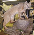 Arizona Taxidermy